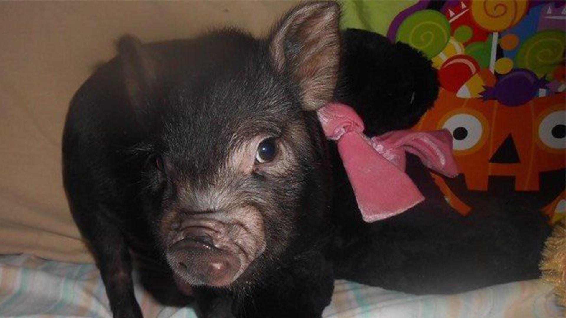black baby pig looking at the camera