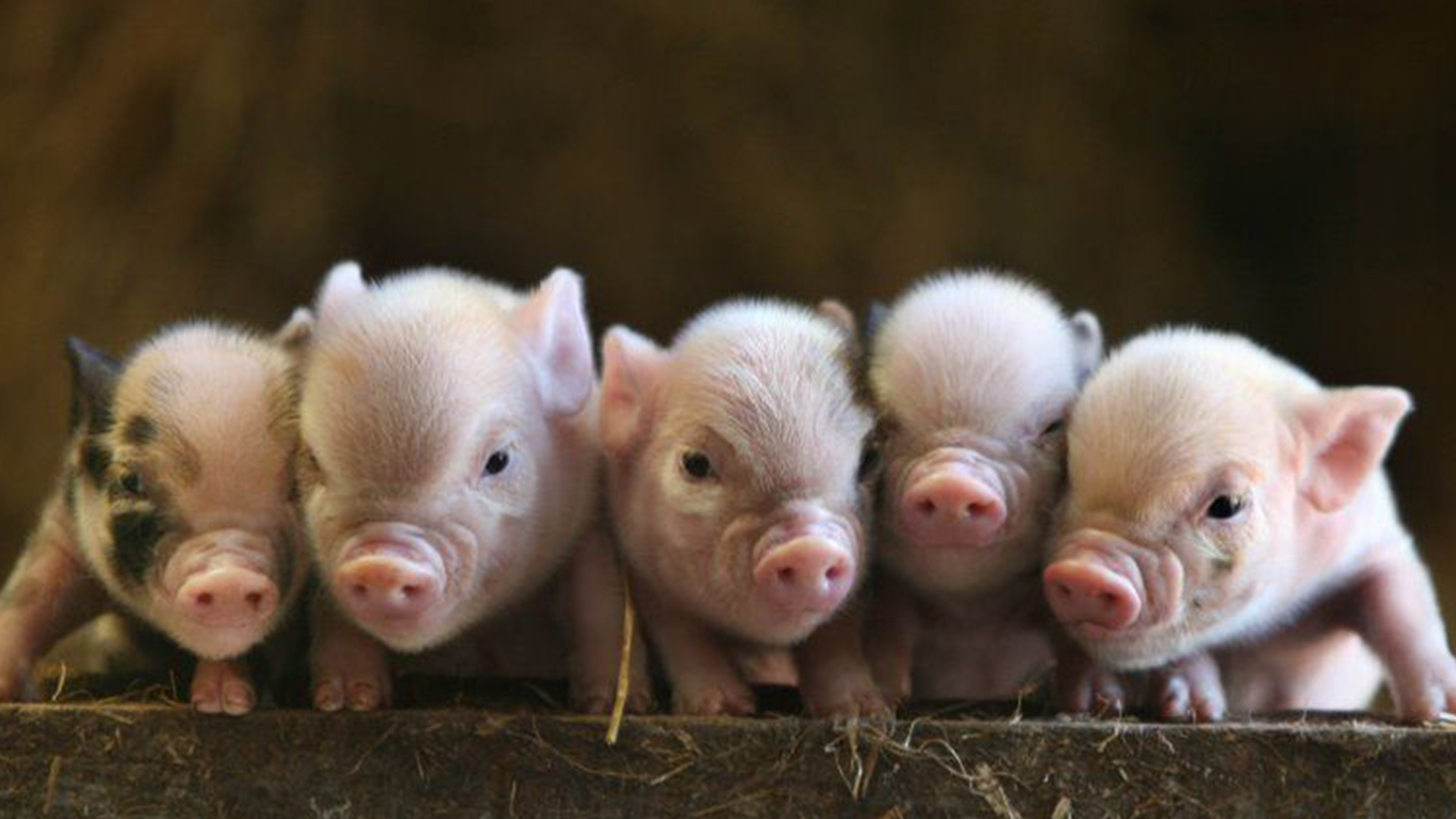 peewee piglets teacup pigs