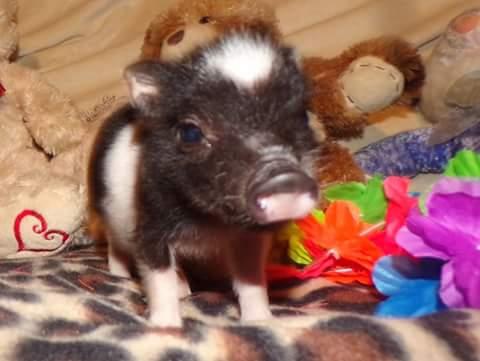 Teacup Piglet boy booker 2