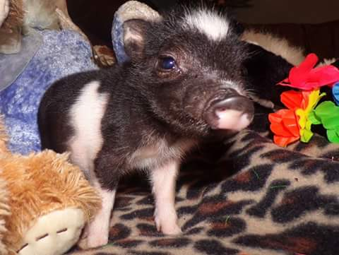 Teacup Piglet boy booker