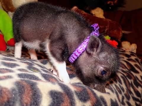 wendy teacup pig female 2