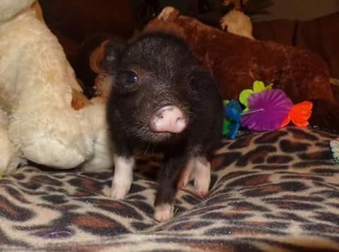 wendy teacup pig female 3