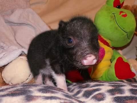 wendy teacup pig female 4