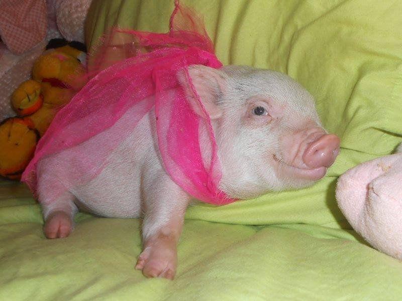 pink baby piglet resting